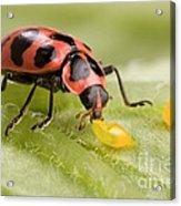 Lady Beetle Eats Potato Beetle Eggs Acrylic Print