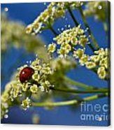Lady Bug On Osha At Lake Irwin Acrylic Print