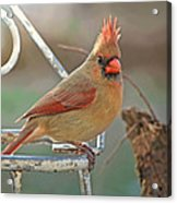 Lady Cardinal With Her Crown On Acrylic Print