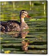 Lady Duck 1 Acrylic Print