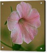 Lady Petunia Acrylic Print
