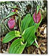 Lady Slipper I Acrylic Print