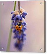 Ladybird And Lavender Acrylic Print