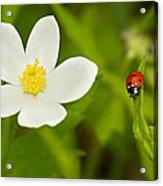 Ladybird Beetle Acrylic Print