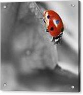 Ladybird On Leaf 1.0 Acrylic Print