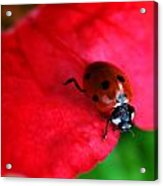 Ladybird On Petal Acrylic Print