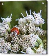 Ladybug Atop The Flowers Acrylic Print