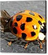Ladybug Folding Wings Acrylic Print