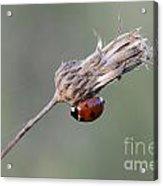 Ladybug On Dried Thistle Acrylic Print