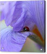 Ladybug On Iris Acrylic Print