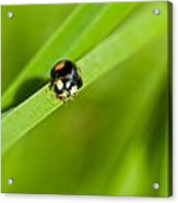 Ladybug With Black-brown And Red Color Acrylic Print