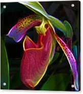 Lady's Slipper Acrylic Print by Judi Bagwell