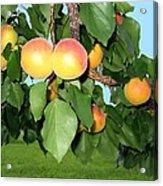 Lake Country Apricots Acrylic Print
