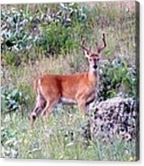 Lake Country Buck Acrylic Print