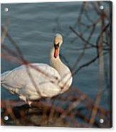 Lake Ontario Swan Acrylic Print