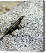Lake Tahoe Lizard On A Hot Rock Acrylic Print