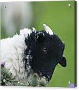 Lamb Acrylic Print