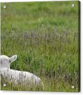 Lamb In Pasture, Alberta, Canada Acrylic Print