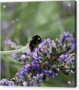 Landing Bee Acrylic Print