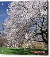 landscape 3 Sprawling Apple Tree in Spring Acrylic Print