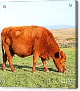 Landscape With Cow Grazing In The Field . 7d9933 Acrylic Print