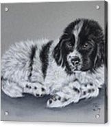 Landseer Pup Acrylic Print by Patricia Ivy