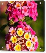 Lantana Camara Acrylic Print