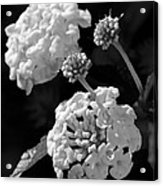 Lantana In Black And White Acrylic Print