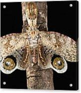 Lantern Bug Fulgora Laternaria Acrylic Print