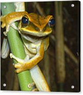 Large Arboreal Hylid Frog Acrylic Print