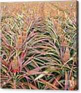 Large Field With Pineapples Acrylic Print