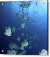 Large School Of Batfish, Christmas Acrylic Print
