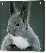 Large Tufted Ears Grace An Acrylic Print