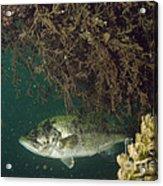 Largemouth Bass Acrylic Print