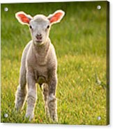 Larry Lamb And His Lovely Pink Ears. Acrylic Print