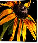 Last Day Of A Black-eyed Susan Acrylic Print