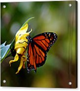 Last Kiss Of The Butterfly Acrylic Print