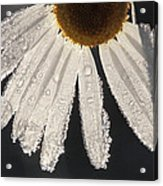 Late Blooming Marguerite Acrylic Print