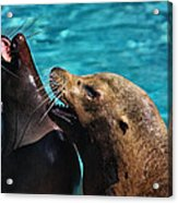Laughing Seals Acrylic Print