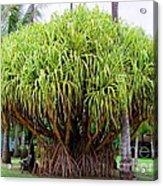 Lauhala Tree Acrylic Print