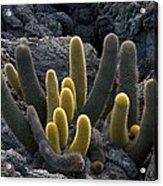 Lava Cactus (brachycereus Nesioticus) Acrylic Print