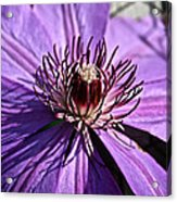 Lavender Clematis Acrylic Print