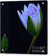 Lavender Delight Acrylic Print