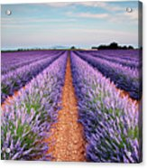 Lavender Field In Blossom Acrylic Print