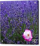 Lavender Field With Poppy Acrylic Print