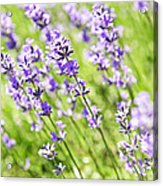 Lavender In Sunshine Acrylic Print