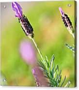 Lavender In The Sun Acrylic Print