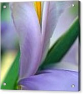 Lavender Iris Acrylic Print by Kathy Yates