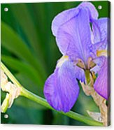 Lavender Iris On Green Acrylic Print