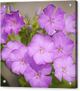 Lavender Phlox Acrylic Print